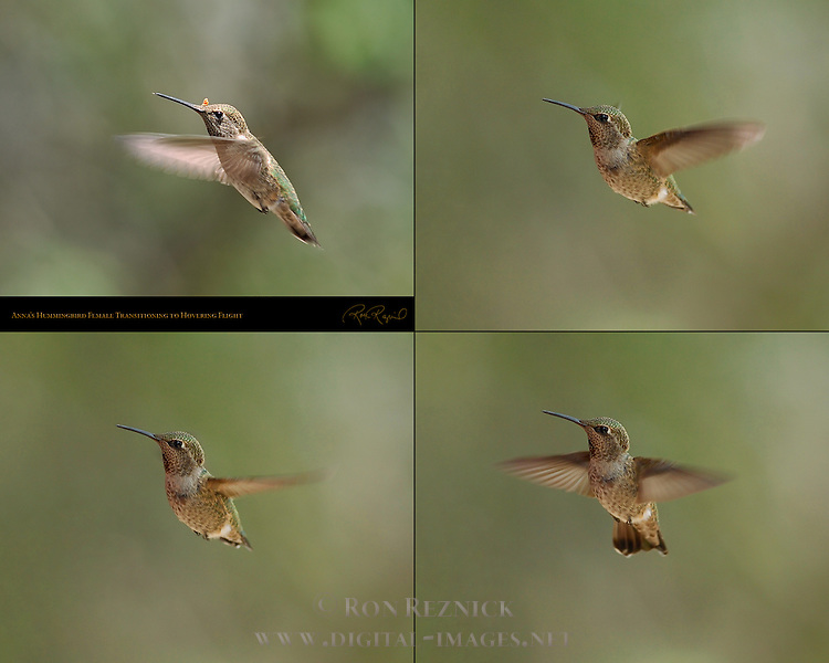 Anna's Hummingbird Female Transitioning to Hovering Flight, Composite Flight Study, Indian Peak Ranch, Mariposa, California
