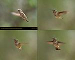 Anna's Hummingbird Female Transitioning to Hovering Flight, Composite Flight Study, Indian Peak Ranch, Mariposa, California