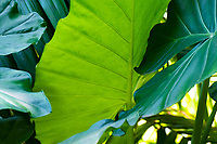 Elephant ears at at Hawaii Tropical Botanical Garden near Onomea Bay in Papa'ikou near Hilo, Big Island of Hawai'i.