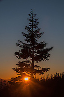 Lone Pine at Sunset, Panther Meadow, Shasta-Trinity National Forest, California, US