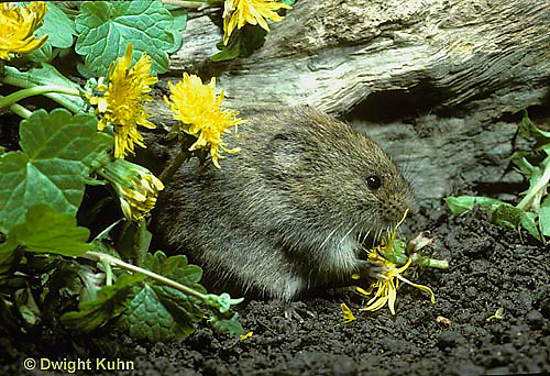 MU30-182z  Meadow Vole - eating dandelions - Microtus pennsylvanicus
