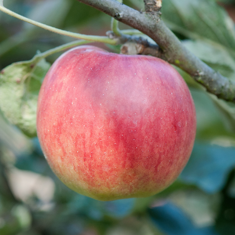 Apple 'Jonathan', late September. Popular, well-known and internationally grown American dessert apple - although also used for cooking. Discovered in 1826 by Jonathan Hasbrouck on Philip Rick's farm at Woodstock in the foothills of the Catskill Mountains, New York.