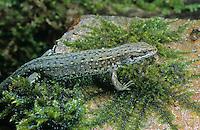 Waldeidechse, Mooreidechse, Bergeidechse, Wald-Eidechse, Moor-Eidechse, Berg-Eidechse, Lacerta vivipara, Zootoca vivipara, viviparous lizard, European common lizard