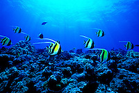 This photo depicts Hawaii's coral reef diversity.  In this photo you can see Convict Tangs, Achilles Tang, Yellow Tang, Milletseed Butterflyfish and Raccoon Butterflyfish.