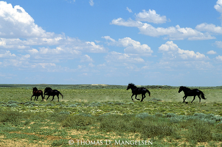 Wild horses running across the Red Desert in Wyoming.