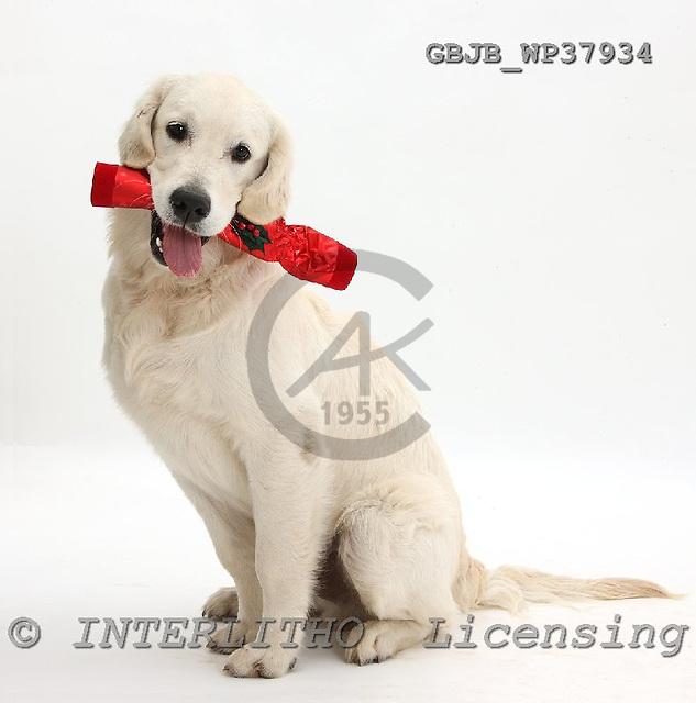 Kim, CHRISTMAS ANIMALS, photos, GBJBWP37934,#XA# stickers