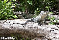 0626-1104  Black Spiny-tailed Iguana (Black Iguana, Black Ctenosaur), On Half-moon Caye in Belize, Ctenosaura similis  © David Kuhn/Dwight Kuhn Photography