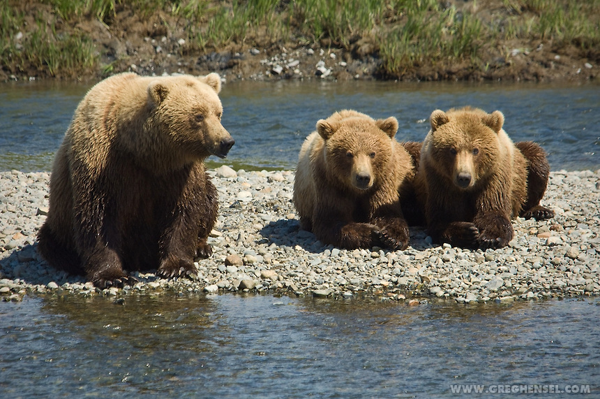 Mother Grizzly Bear and her cubs wait for Salmon at Mikfik Creek. McNeil River Brown Sanctuary. Summer in Southwest Alaska.