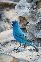 Indigo Bunting, Passerina cyanea, male, Uvalde County, Hill Country, Texas, USA, April 2006