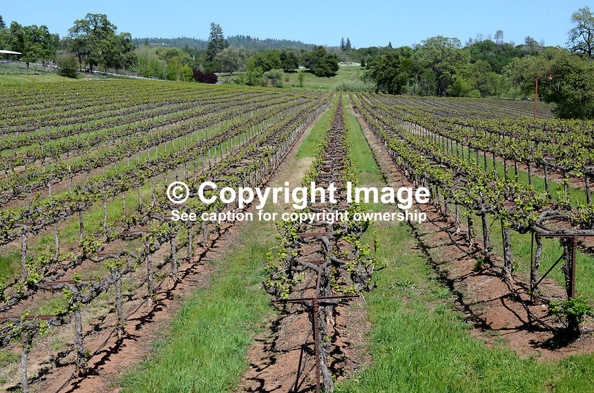 Ironstone Vineyard, Murphys, California, USA, 201304211716<br /> <br /> Copyright Image from Victor Patterson, 54 Dorchester Park, Belfast, UK, BT9 6RJ<br /> <br /> Tel: +44 28 9066 1296<br /> Mob: +44 7802 353836<br /> Voicemail +44 20 8816 7153<br /> Skype: victorpattersonbelfast<br /> Email: victorpatterson@me.com<br /> Email: victorpatterson@ireland.com (back-up)<br /> <br /> IMPORTANT: If you wish to use this image or any other of my images please go to www.victorpatterson.com and click on the Terms &amp; Conditions. Then contact me by email or phone with the reference number(s) of the image(s) concerned.