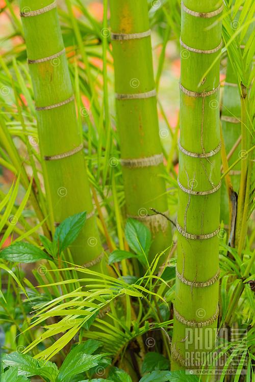 A close-up of a a bamboo trio on Maui.