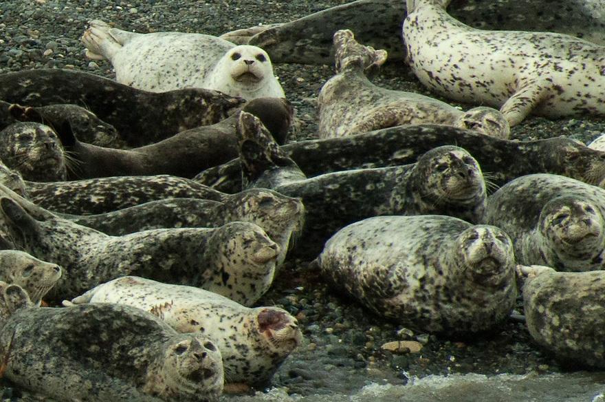 Sea Otters, Port Angeles, WA