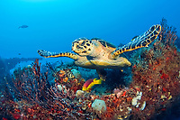 hawksbill sea turtle, Eretmochelys imbricata, feeding on sponges on the shipwreck of the MIspah, and Spanish hogfish, Bodianus rufus, Singer Island, Florida, USA, Atlantic Ocean