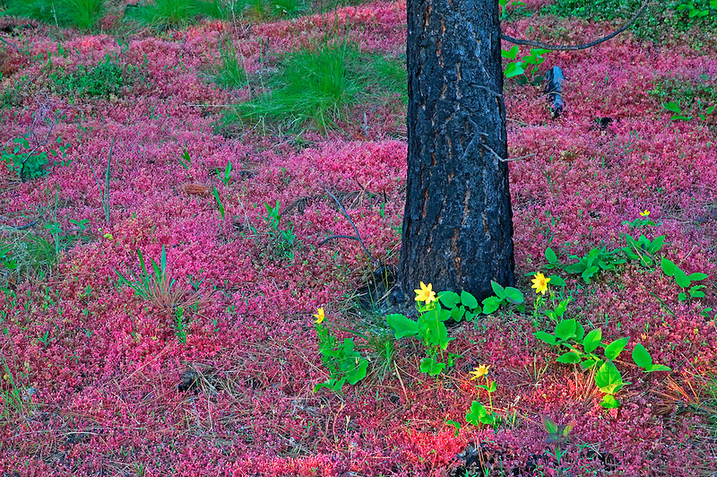 Red miners lettuce and daisies with ponderosa pine trees. Freemont National forest, Oregon