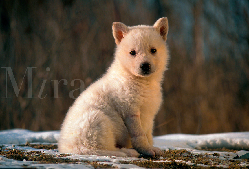 Portrait of an Artic tundra wolf puppy.