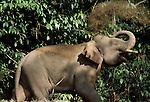 Asian Elephant (Elephas maximus) - Sabah,  in forest spraying mud on back, Borneo.Indonesia....