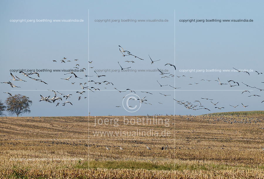 GERMANY, Ruegen, crane on maize field in autumn / DEUTSCHLAND, Ruegen, Sagard, Kraniche auf Maisfeld im Herbst