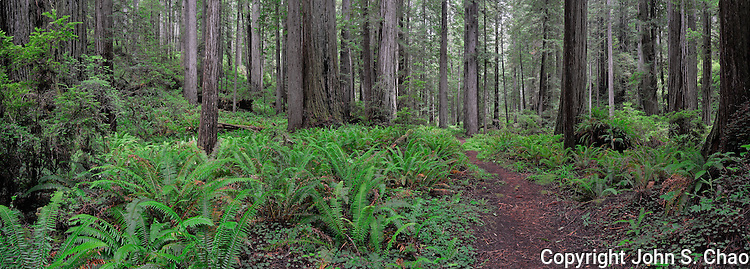 Panorama of ferned forest along Brown Creek Trail, Redwood National and State Parks, California.