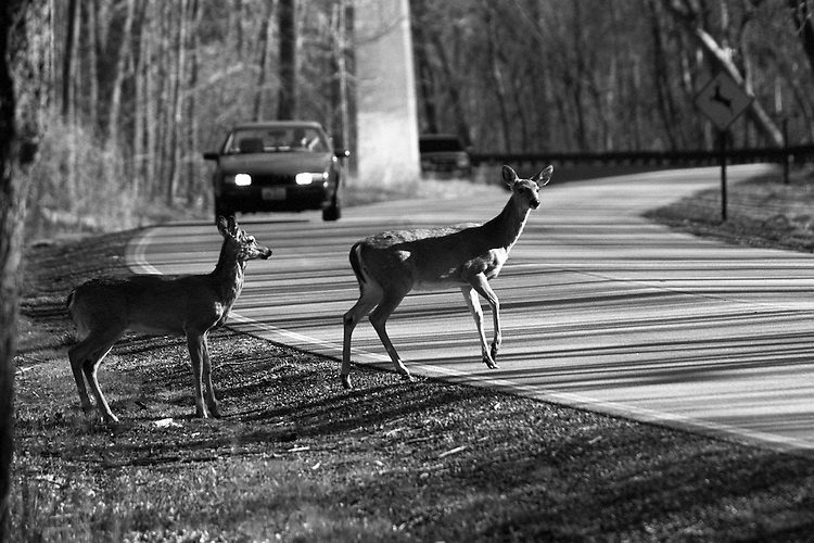White tail deer crossing with car approaching. Appears to be an impending accident. Deer crossing sign in background.