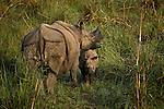 The Indian, or one-horned, rhinoceros lives in pockets of grasslands at the base of the Himalaya in India and Nepal, a small fraction of their original range. A rhinoceros mother is fiercely protective, willing to charge anything she deems threatening. The Indian rhinoceros is one of the largest sub species, with males growing to 6,000 pounds. Royal Chitwan National Park, Nepal