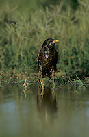 European Starling, Sturnus vulgaris, adult drinking, Starr County, Rio Grande Valley, Texas, USA, May 2002