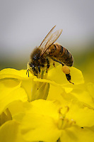 Honey bee feeding on oil seed rape