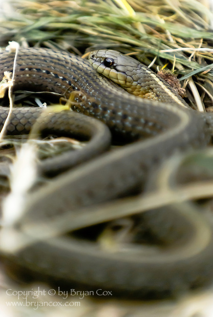 Garter snake, Coast mountain range, Oregon