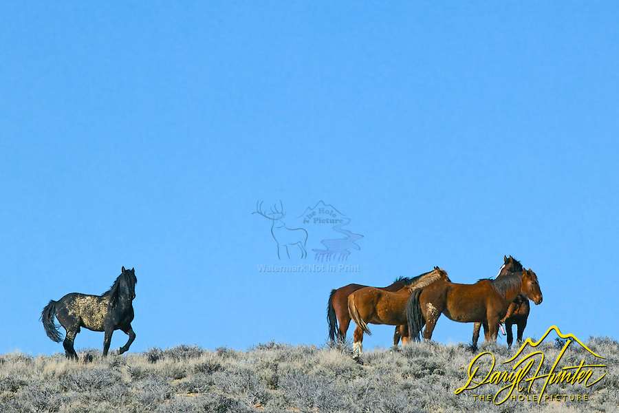 A black mustang stallion watches over his herd near Farson, Wyoming