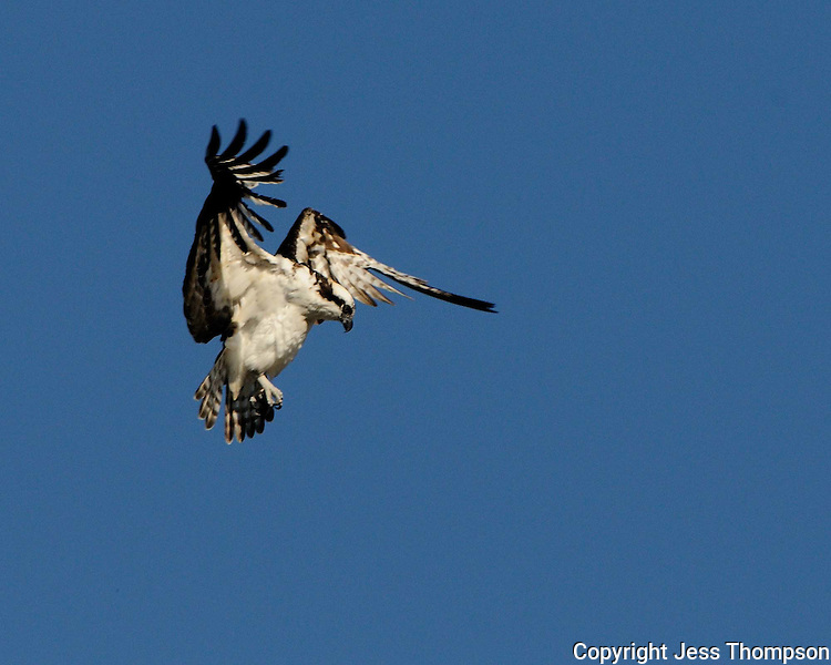 Osprey hovers in flight.