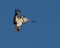 Osprey hovers in flight.