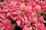 WINTER ROSE EARLY PINK POINSETTIA, EUPHORBIA PULCHERRIMA
