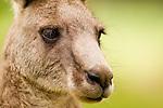 Eastern Grey Kangaroo (Macropus giganteus) male, Jervis Bay, New South Wales, Australia