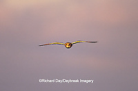 01113-005.05 Short-eared Owl (Asio flammeus) in flight    IL