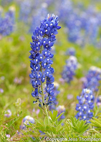 Bluebonnet flower, Kingsland, TX