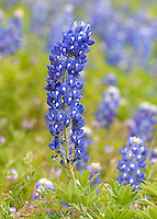 Bluebonnet flower, Kingsland, TX