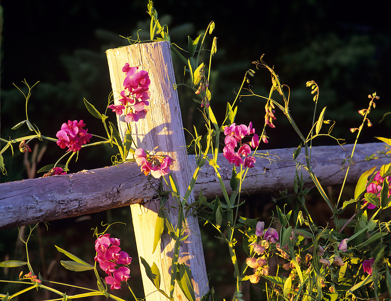 Sweetpeas on old fence. Near Alpine, Oregon.
