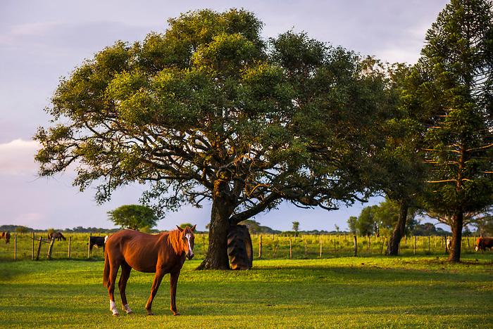 Horse at Estancia San Juan de Poriahu, Ibera Wetlands, a marshland in Corrientes Province, Argentina