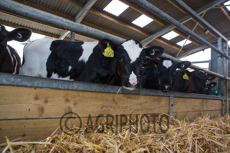 Dairy calves in straw yards<br /> Picture Tim Scrivener 07850 303986