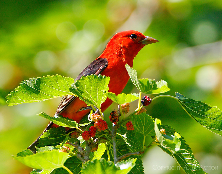 Adult male scarlet tanager in breeding plumage in mulberry tree
