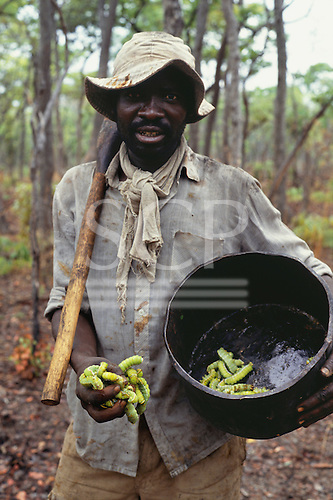 Kopa, Zambia. Man wearing a floppy hat holding Mopani caterpillers (Imbrasia belina), a food delicacy.
