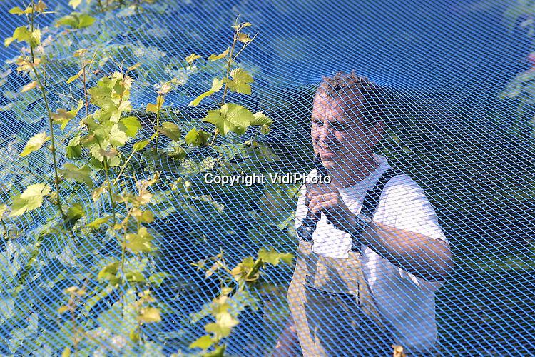 Foto: VidiPhoto..DODEWAARD - Eigenaar Inno Venhorst van wijngaard Villa Hehum uit Dodewaard, de enige buitendijkse wijngaard van Nederland, snoeit de bladeren weg zodat de druiventrossen meer licht krijgen. Het blauwe net over de druivenstruiken voorkomt dat merels de oogst opvreten. Het jaar 2001 belooft een goed druivenjaar te worden. De trossen hangen dik aan de struiken en de druivenbessen zijn groter dan vorig jaar. Bovendien is het suikergehalte in het druivensap door de warme weken in juli en augustus nu al vrij hoog. Normaal gesproken begint de oogst pas eind september. Naar verwachting is dat nu wat eerder.