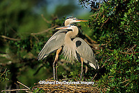 00684-01104 Great Blue Herons (Ardea herodias) at nest    FL