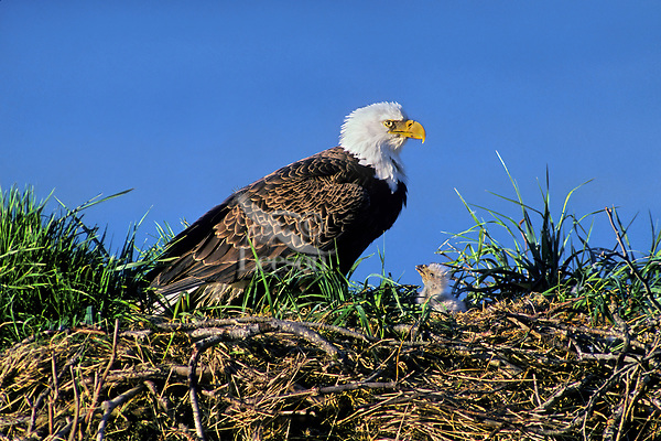Bald Eagle (Haliaeetus leucocephalus) mother and very young chick at nest.