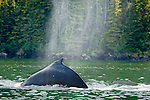 Whale, Stephens Passage, Tongass National Forest, Southeast, Alaska, USA