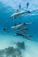 RZ0527-D. Spinner Dolphins (Stenella longirostris), pod swimming together in shallow water near offshore coral reef. Note people snorkeling above. People come from<br />  all over the world for the opportunity to see wild dolphins in the natural habitat. Egypt, Red Sea.<br /> <br /> Photo Copyright &copy; Brandon Cole. All rights reserved worldwide.  www.brandoncole.com