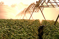 Tobacco crop, watering, irrigation, crops, harvest, plants, farm, farming, machinery, agriculture. tobacco farm, irrigation. Georgia, farmland.