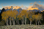 Aspen trees in fall below the Teton Range mountains at sunrise, Grand Teton National Park, Wyoming