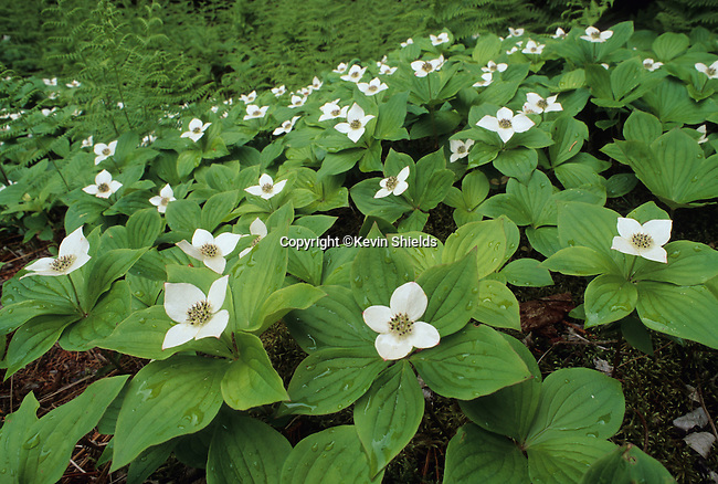 Carpet of bunchberry (dwarf cornel) on Sears Island, Searsport, Maine, USA