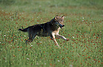 Timber or Grey Wolf (Canis lupus)  - male running accross meadow, Minnesota.USA....