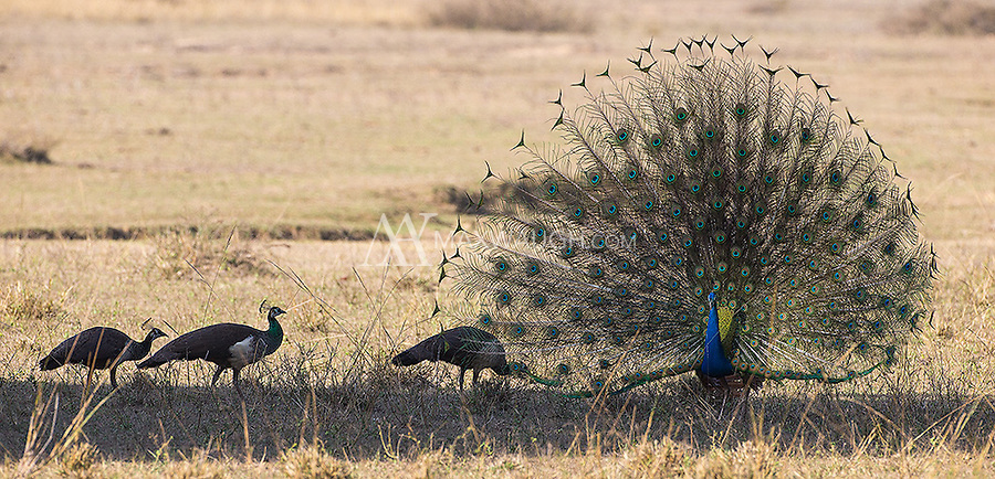 We've all seen peacocks in our local zoos and parks, but they're actually native to India, so it was nice seeing them in   the wild for the first time.